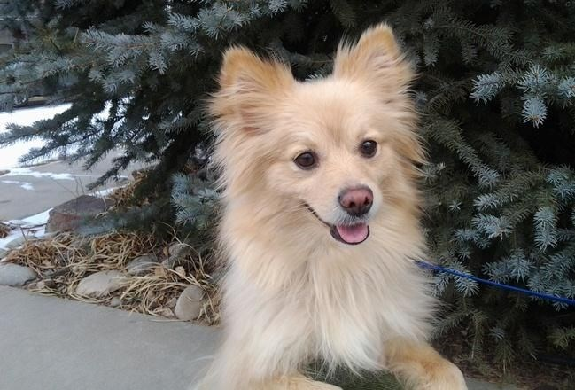 pomeranian papillon 83 cute mixed breed dogs you need to know about slice ca 2302